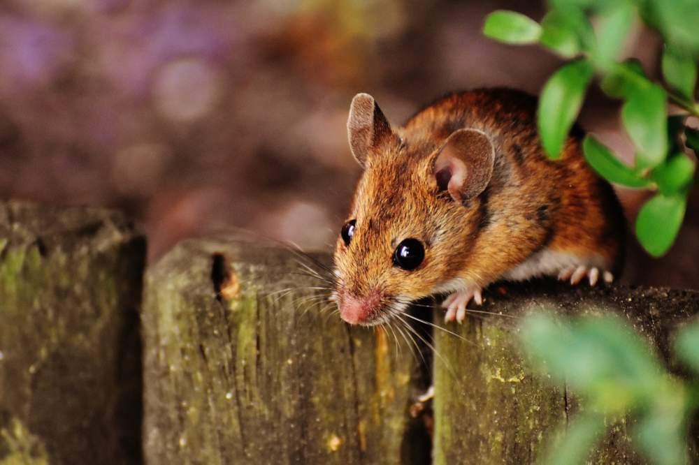 allontanare i topi